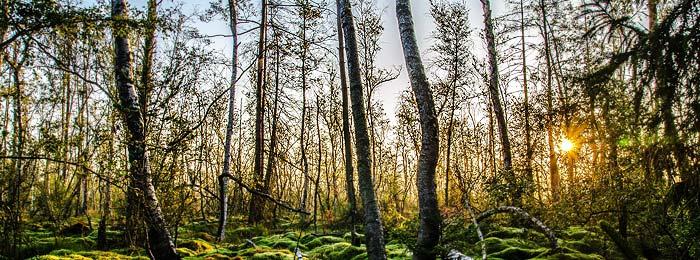 Biospären-Holz Birke